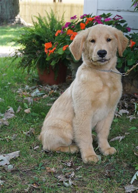 how much is golden retriever how much does a registered golden retriever cost dogs our friends photo