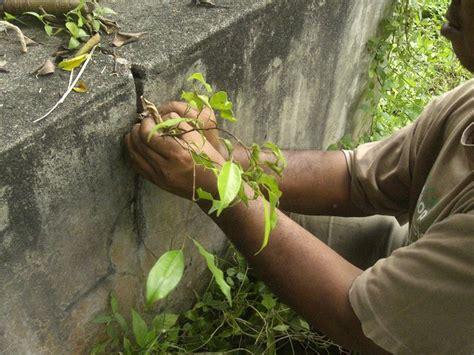 Serut Anggrek tanaman hias bibit beringin tutorial foto