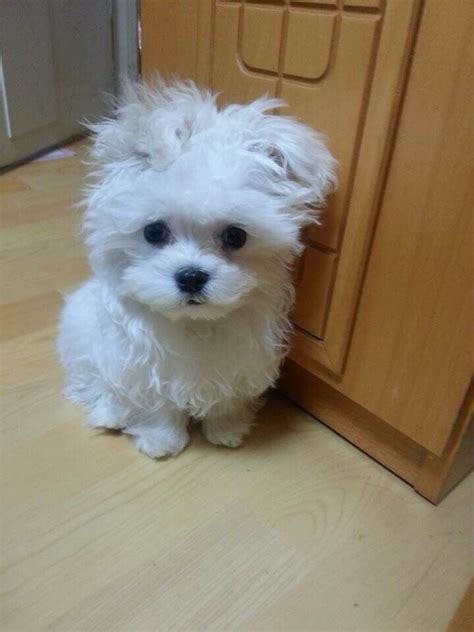 how much are maltese puppies 25 best ideas about maltese puppies on baby maltese cutest small dogs