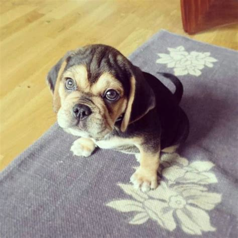 pug crossed with a beagle 1000 images about snuggle a puggle on puggle puppies pets and puppys
