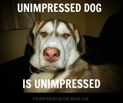 Unimpressed Meme - unimpressed dog memes image memes at relatably com
