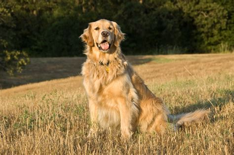 golden retriever behaviors 5 facts about the golden retriever temperament rover