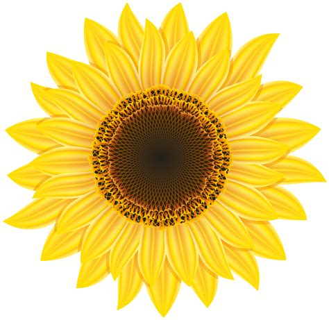 sunflower clipart sunflower png images free