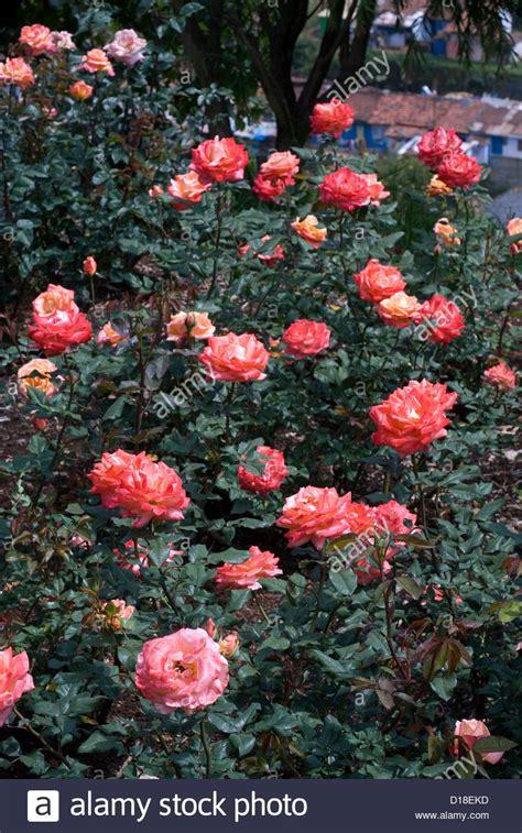 Ocho Rose Flowers In Ooty Garden Tamil Nadu India Stock Flower Garden In India