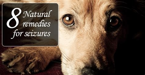 seizure medications for dogs seizures seizures in dogs symptoms remedy treatment and to breeds
