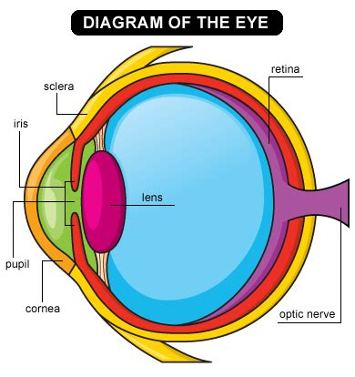 what part of the eye sees color lens