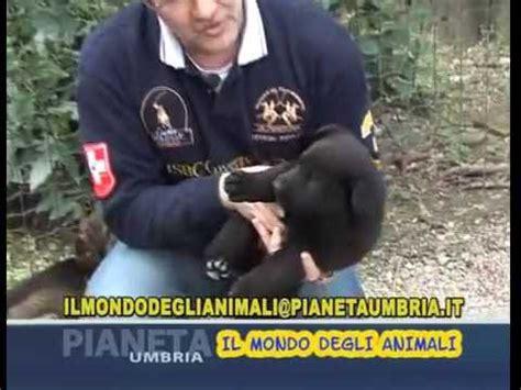 come alimentare un cucciolo di come alimentare un cucciolo di pastore tedesco animali