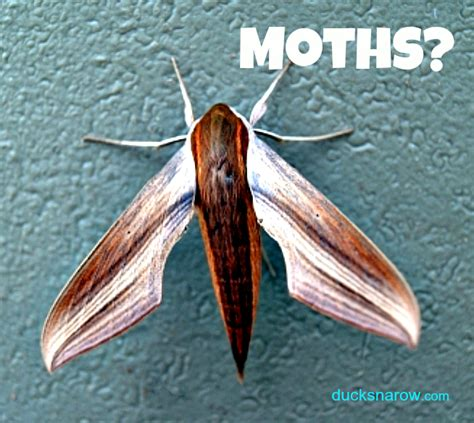 ducks n a row pantry moths get rid of them forever