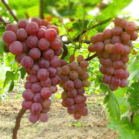 Bulk Garden Seeds by 50 Mixed Grape Seeds Vitis Vinifera Delicious Fresh Fruit