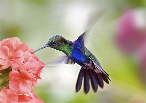 facts about hummingbirds and google hummingbird