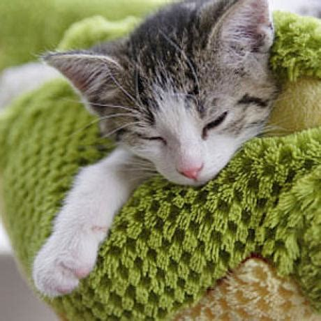 heartworm symptoms heartworm symptoms in cats catster