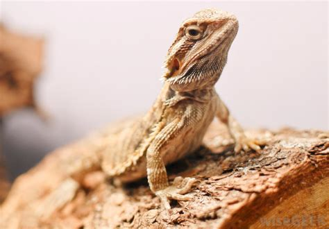 how often do bearded dragons go to the bathroom what are the characteristics of a female bearded dragon