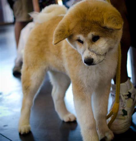 pin shiba inus dogs