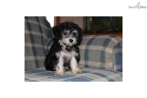 are olives bad for dogs meet olive a mixed other puppy for sale for 500 ckc