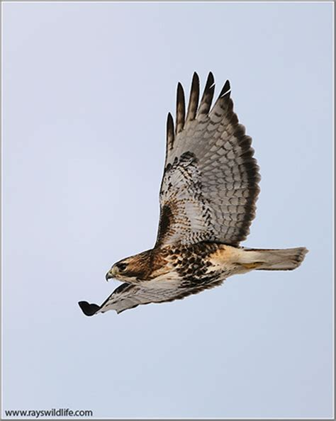 identifying northern red tailed hawks ebird canada