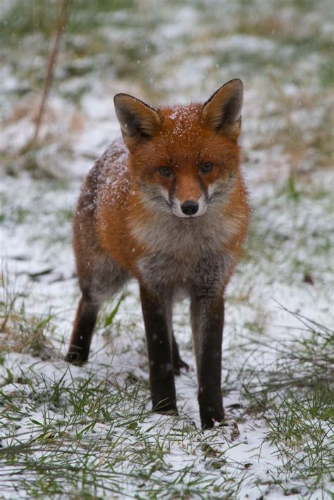1000 Images About Arctic Animals On Arctic - 1000 images about fox in snow on fox