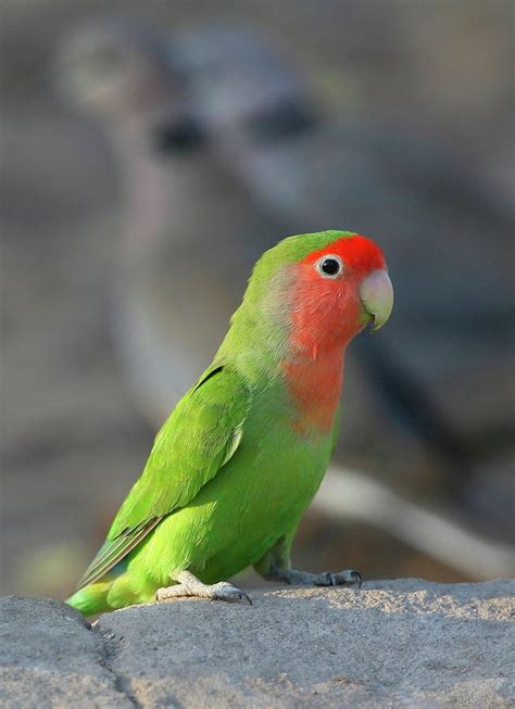 rosy faced lovebird photograph by bruce j robinson
