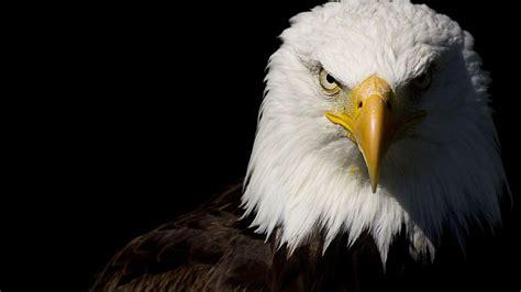 eagle hd wallpapers hd wallpapers pinterest eagle