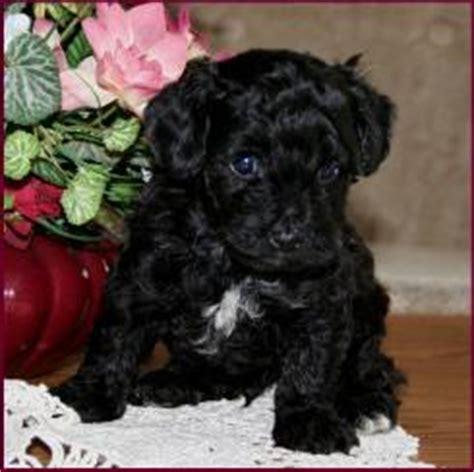 yorkies in iowa yorkie poo adoption iowa breeds picture