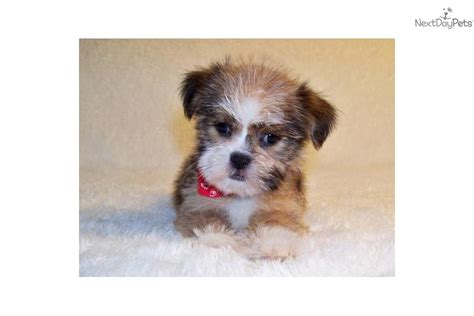 shih tzu st louis shih tzu for sale in st louis missouri bob breeds picture