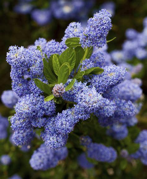 Fleurs Qui Resistent Au Vent by C 233 Anothe Planter Et Tailler Ooreka