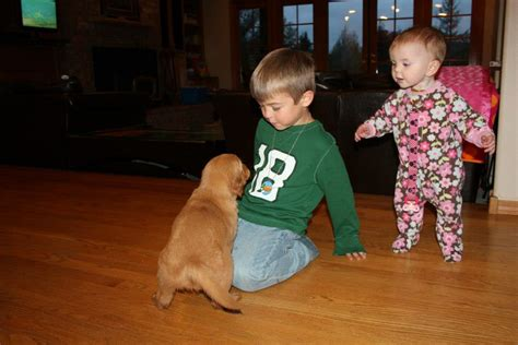 golden retrievers and children chet womach s new golden retriever puppy w pictures thedogtrainingsecret