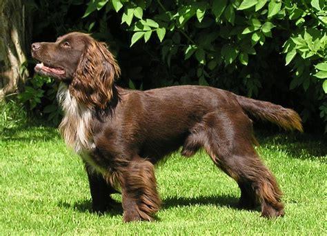 Cocker Spaniel | Truequest Gun Dogs