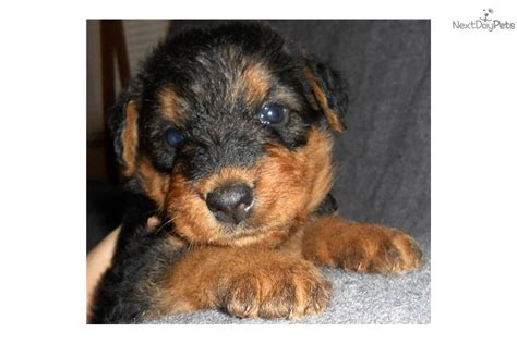 airedale puppies for sale california airedale terriers puppies for sale king of the terriers