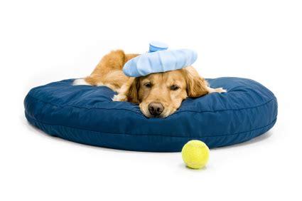 puppy flu canine flu