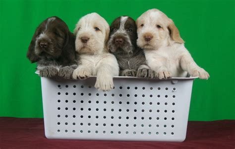 spinone italiano puppy spinone italiano breeder we proudly hunt show and breed the di morghengo line