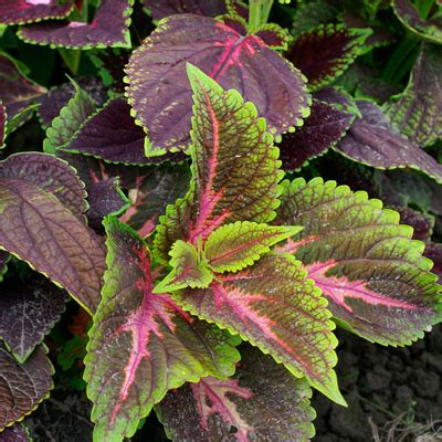 coleus rainbow mix flower seeds greenhouse megastore