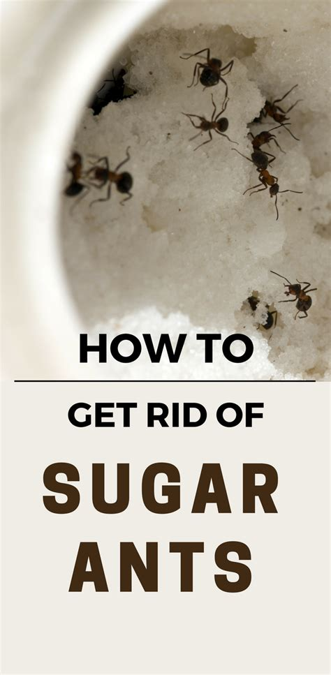 how to get rid of sugar ants 101cleaningsolutions