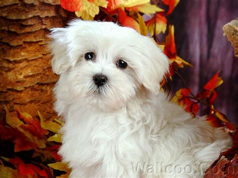 white fluffy dogs animals white fluffy puppies