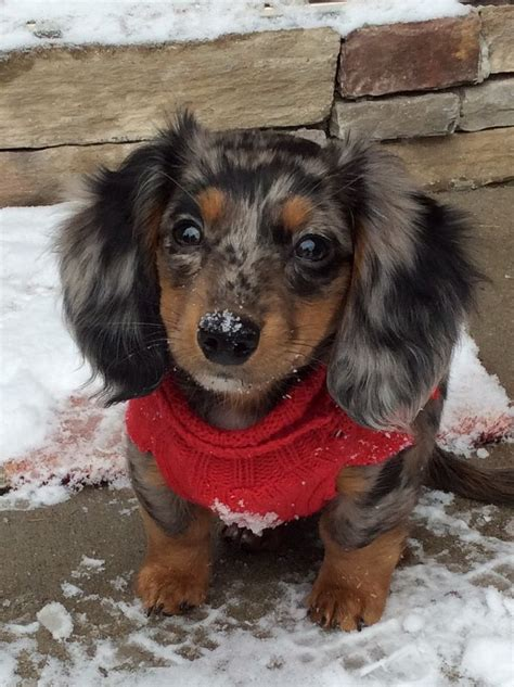 haired dachshund puppies best 25 dachshund puppies ideas on daschund