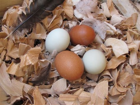 How To Raise Backyard Chickens For Eggs by How To Raise Chickens In Your Backyard The Of Manliness