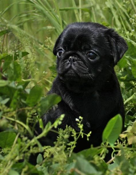 black pug puppie black pug puppy black pug puppies favors puppys and
