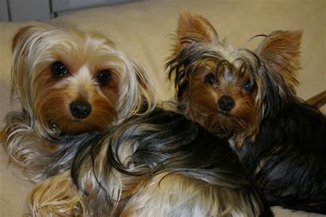 yorkie description file two longhaired yorkies jpg wikimedia commons