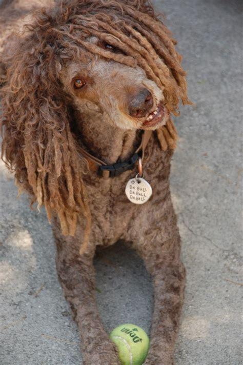 doodle name jamaica rasta poodle poodle cuts styles