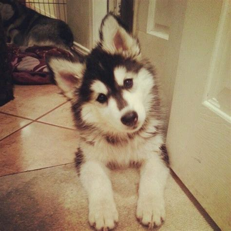 puppy instagram 1000 images about husky on
