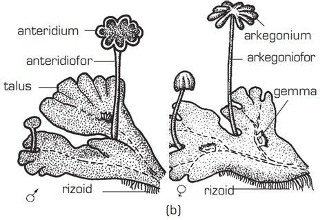 hepaticopsida lumut hati materi soal biologi smp sma rembang