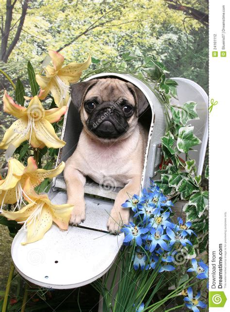 pug mailbox pug in a mailbox stock photography image 24161112