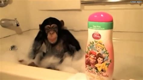 splash this chimp is bananas for bath time hlntv