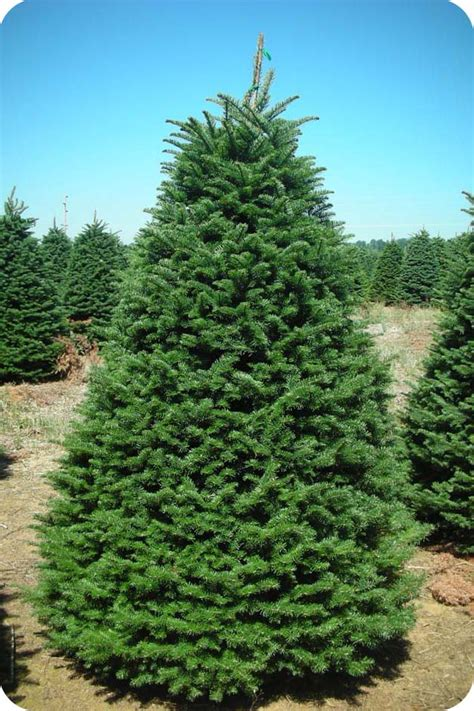 noble fir coniferous forest