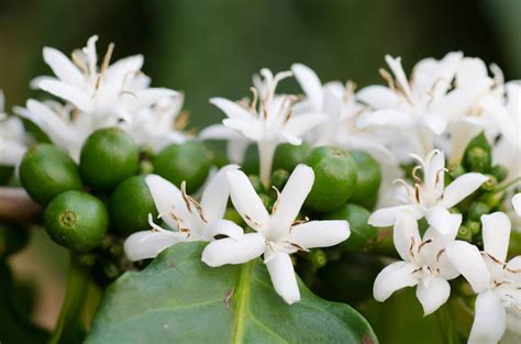 grow  brew growing coffee beans   garden