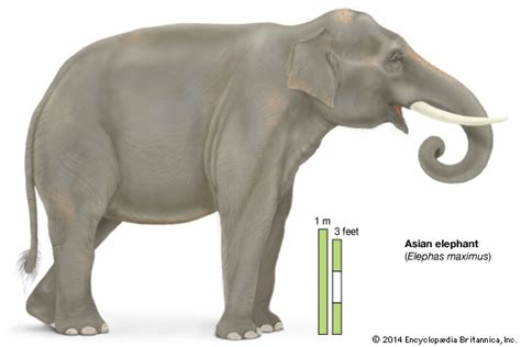 Sis Elephant Top Bigsize elephant mammal britannica