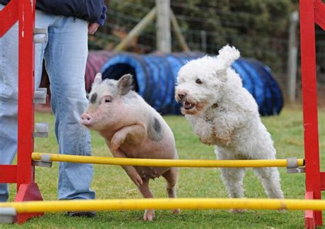 puppy and piglet pig and jump 1funny