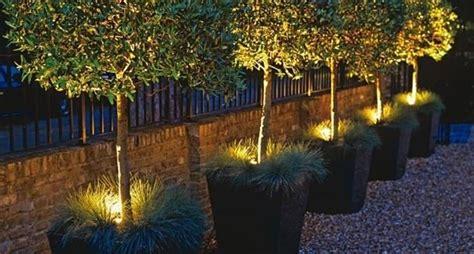 fioriere illuminate ulivo in vaso alberi da frutto coltivare l ulivo in vaso