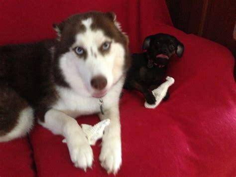 husky and pug die besten 25 husky chihuahua mix ideen auf corgi golden retriever mix
