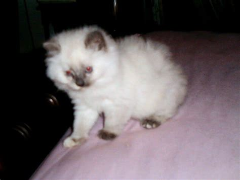 ragdoll kittens for adoption ragdoll kittens for sale adoption from cherry hill new