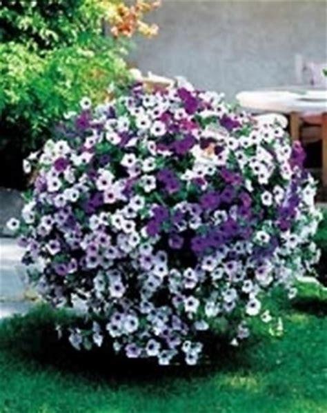 fiore canula viola petunia petunia piante annuali come coltivare le petunie